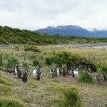 Ushuaia: Isla Martillo, a residência oficial dos Pinguins na Patagônia