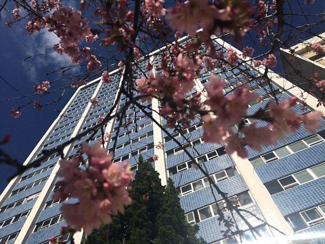 Onde ver as Cerejeiras em Curitiba