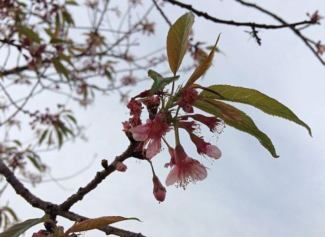 cerejeira 3