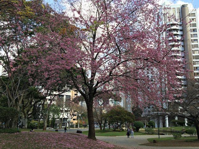 cerejeiras 11