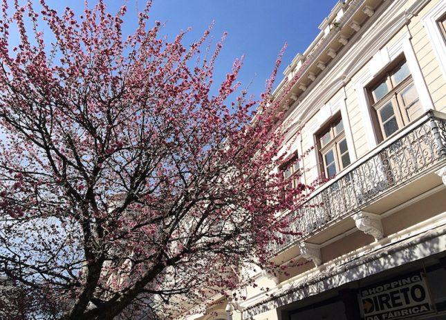 cerejeiras 6