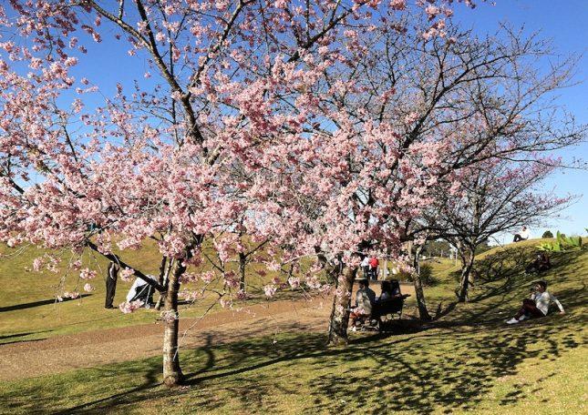 cerejeiras 7